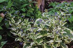 Guide to Growing Brunnera - FineGardening Spring Flowers, Blue Flowers, Wooded Landscaping, Fine Gardening, Seed Starting, Grow Your Own, Cool Plants, Spring Garden, Garden Supplies