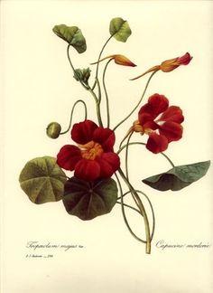 Redoute Botanical Flower Print ~Red Nasturium