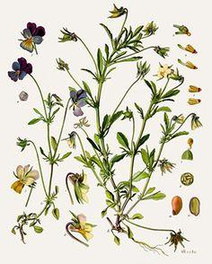 Pensée Sauvage (Viola tricolor arvensis)  Remèdes de Grand-Mère