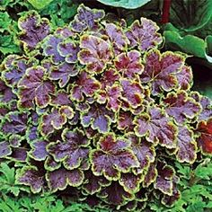 Solar Eclipse Heucherella ... shade  One of the many cool hybrids between Heuchera- coral bells, and Tiarella the SE native Foam Flower.  They combine the fabulous foliage of the coral bells and the great flowers of the foam flower.