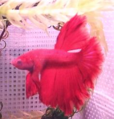 pink betta fish - Google Search
