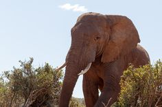I am Boss Addo Elephant National Park is a diverse wildlife conservation park situated close to Port Elizabeth in South Africa and is one of the country's 19 national parks. Cool Picks, Port Elizabeth, Wildlife Conservation, South Africa, Road Trip, National Parks, Boss, Elephant, Cool Stuff
