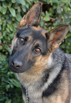 Seraphina von Sankt is a gorgeous 18 month old German Shepherd available for adoption at Westside German Shepherd Rescue of Los Angeles