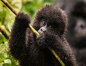 Fotogalerie: Virunga - Berggorillas