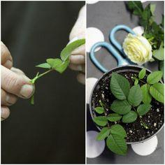 How to grow a rose 🌹 Så lätt kan man föröka sina rosor med sticklingar! Succulent Gardening, Garden Plants, Gardening Tips, Indoor Flowers, Indoor Plants, Special Flowers, Green Garden, Green Life, Aquaponics