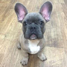 """William's """"oh... It's Monday"""" face, French Bulldog Puppy, #frenchbulldogs"""