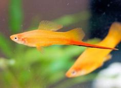 Colorful and active fish in fountains and ponds outdoors and on porches can solve several problems you may otherwise have with outdoor bodies of water