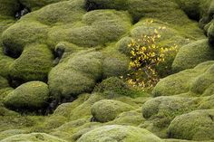 Iceland: Moss and Lava - The moss grows like a thick cozy blanket on top of the rough lava fields – sometimes surprisingly thick as my boots sink in and get lost before hitting solid ground. http://annemckinnell.com/2016/03/01/iceland-moss-lava/ #iceland #nature
