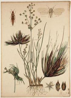 Rus (Juncus) met gallen van de russenbladvlo (Livia juncorum).