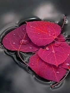 in Water The beauty of leaves.I love autumn colors. MoreThe beauty of leaves.I love autumn colors. Jolie Photo, Beautiful World, Simply Beautiful, Beautiful Images, Autumn Leaves, Red Leaves, Color Splash, Red Colour, Black Splash