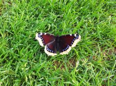 Mourning Cloak/Camberwell Beauty / Nymphalis antiopa / Sørgekåpe. Nes Golf Course, Aug 9th 2013