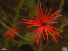 Mexican / Indian Pink by pellaea, via Flickr