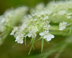 Fine Art Photography Queen Anne's Lace Rustic Print So Shabby8x10KarenWebb Photography by KarenWebbPhotography on Etsy