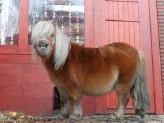 Thelwell: Shetland Pony