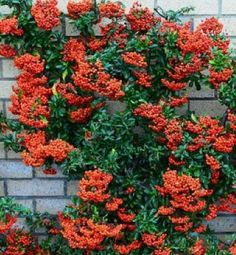 how to train pyracantha against wall