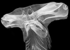 This is an X Ray of a hammer head shark Fast Crazy Nature Deals. Shark Head, All Fish, Marine Biology, Creature Design, Ocean Life, Marine Life, Animes Wallpapers, Sea Creatures, Nature Photography
