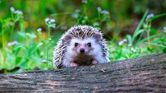 Top 5 Things You Should Know Before Getting a Hedgehog - College Manor Veterinary Hospital Hedgehog Pet, Dry Cat Food, Trends, Animal Rights, Royalty Free Photos, Snuggles, Your Pet, Cute Pictures, Cute Animals