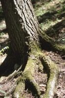 Tree roots may seek moisture escaping from sewer lines.