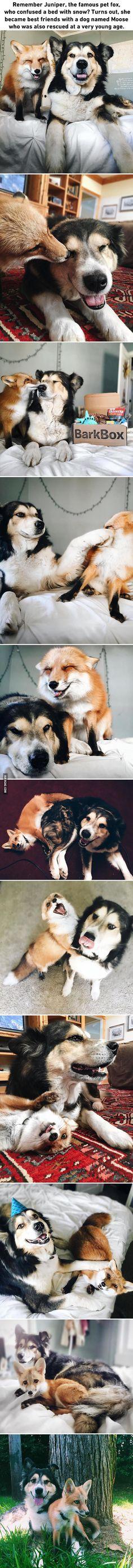 Pet Fox Torna-se melhores amigos com um cão
