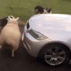 """5,696 Likes, 184 Comments - Animals/ Nature/ Planet (@animalcubss) on Instagram: """"Hyperactive sheep 😀❤ #animalcubss"""""""