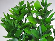 """Ruscus: aka ""butcher's broom"", this Israeli plant is frequently used as a decorative filler List Of Flowers, Types Of Flowers, Cut Flowers, Green Leaves, Plant Leaves, Italian Ruscus, Big Garden, Fresh Herbs, Floral Design"