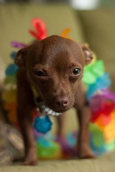 Rocco the Chihuahua tells us all about his awesome DogVacay in High Bridge, NJ with sitters Elin and CJ.