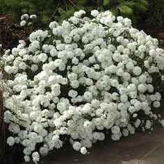 Achillea Double Diamond Seeds from Mr Fothergill's Seeds and Plants