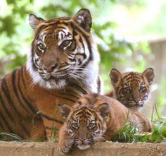 """Yooko. Significa """"tigre"""" en Yaqui."""