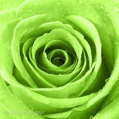 Image result for Lime Green Roses