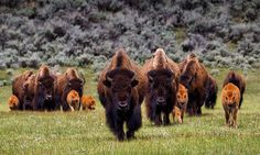 2017 - A plan to more than double the number of bison in North America.