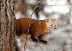 Как выглядит куница (фото): виртуозный лесной хищник