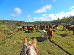 Western Pleasure Guest Ranch Idaho moving cattle