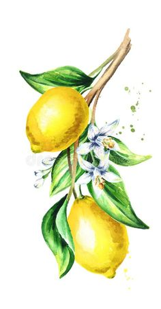 Lemon Branch With Fruit And Leaves. Stock Illustration - Illustration of lemon, plant: 105549386 Lemon Painting, Lemon Watercolor, Fruit Painting, Watercolor Illustration, Watercolor Paintings, Hand Illustration, Lemon Drawing, Lemon Pictures, Branch Drawing