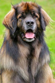 O Leonberger é o cão mais gloriosamente majestoso que você já viu em sua vida. Eu quero um!