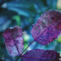 P U R P L E   #nature #photography #flower #botanic #capture#macro #green #picoftheday #leaves