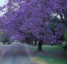 жакаранда_Вторая половина октября - первая половина ноября – время цветения в Австралии удивительного дерева - джакаранды. Тысячи сиреневых красавиц в садах и вдоль дорог создают ощущение праздника в восточных штатах Австралии в эти весенние дни. - See more at: http://www.unification.com.au/articles/read/1969/#sthash.TH9eEVh6.dpuf