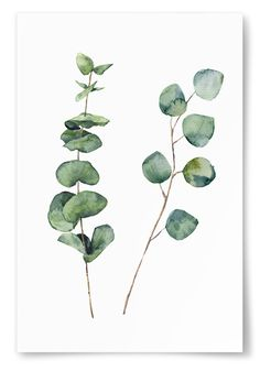 Watercolor eucalyptus round leaves and twig branches. Hand painted baby and silver dollar eucalyptus, twig herb elements. Floral illustration isolated on white background. For design, textile and background illustration Watercolor Plants, Wreath Watercolor, Watercolor Leaves, Watercolor Paintings, Leaf Paintings, Watercolours, Illustration Blume, Botanical Illustration, Botanical Art