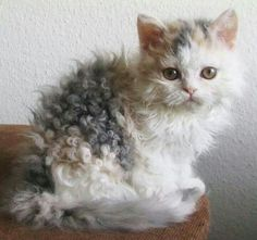 """La'Perm cat  A newer recognized cat breed. Nicknamed the """"Poodle cat"""" because of it's tightly curly hair. They are said to be Hypo-allergic cats, so if you allergic to cats - this is the one for you. They have a very friendly personality."""