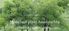 Medicinal plant Azadirachta indica (neem) uses and pics