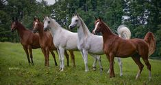Straight Egyptian Arabian Horses- all beauties!  #ArabianHorses