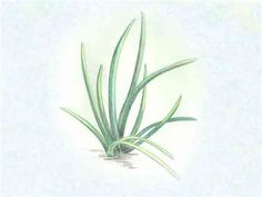 Chinese Chives, seeds | Baker Creek Heirloom Seed Co