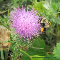 Thistle - Range and Identification, Uses for Food and Medicine and Wildlife Habitat