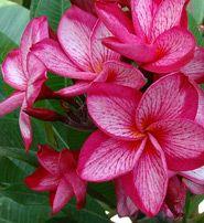 Images of Plumeria varieties 8 - Heliconia Paradise