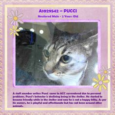 NYC TO BE DESTROYED 03/11/15 PUCCI Prev. person described as playful & affectionate. Initially Is rubbing against the cage & soliciting attention, headbutts against hands,Allows petting & attention, but hisses suddenly. Behavior declining here. NH ID #A1029542. Neutered gray tabby about 2 YEARS.  OWNER SUR reason stated was PERS PROB. https://www.facebook.com/nycurgentcats/photos/a.968811339803520.1073742620.220724831278845/968811496470171/?type=3&theater
