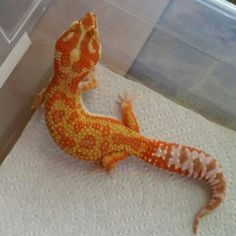 1000 Images About Leopard Geckos On Pinterest Leopard