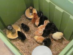 Chicks hatched from an incubator on Lot 2.