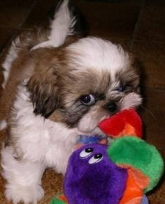 The traits we admire about the Smart Shih Tzu Puppies The features we admire about the Smart Shih Tzu puppy Baby Shih Tzu, Shih Tzu Puppy, Shih Tzus, Shitzu Puppies, Cute Puppies, Cute Dogs, Dogs And Puppies, Doggies, Retriever Puppies