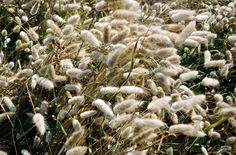 RHS Plant Selector Lagurus ovatus AGM / RHS Gardening