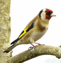 Goldfinch, Bird Watching, Birds, Beautiful, Ireland, Instagram, Animaux, Bird, Irish