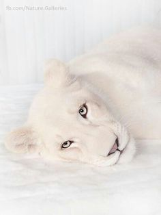 white lioness  (by Jean Pierre Collin)